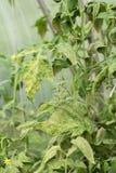 Заболевание листьев зреть зеленые томаты в саде i стоковое изображение