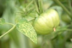 Заболевание листьев зреть зеленые томаты в саде i стоковая фотография rf