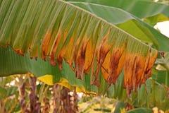 Заболевание от грибков, болезнь растения лист банана стоковые фото