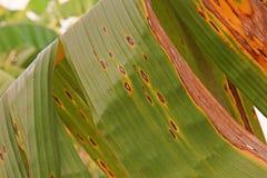 Заболевание от грибков, болезнь растения лист банана стоковое изображение