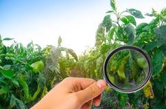 Заболевание перца причинено вирусом Phytophthora Infestans Земледелие, сельское хозяйство, урожаи заболевание овощей на поле касс стоковое изображение