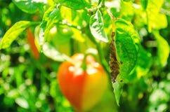 Заболевание перца причинено вирусом Phytophthora Infestans овощи на поле стоковые фотографии rf