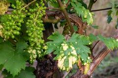 Заболевание распространяя на виноградине в винограднике, конец вверх, предохранение от виноградной лозы стоковая фотография rf