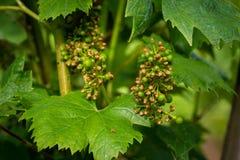 Заболевание распространяя на виноградине в винограднике, конец вверх, предохранение от виноградной лозы стоковое изображение
