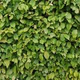 Заболевание сада грибное, на зеленых листьях Завод поврежденный заболеванием Патология завода стоковое фото rf