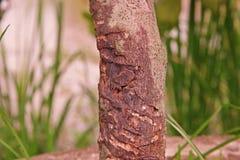 Заболевание ситовины стержня цитруса стоковые изображения rf