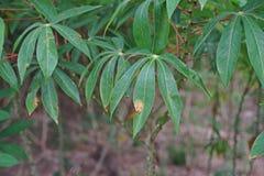Заболевание трущоб лист кассавы от бактерий стоковое фото rf
