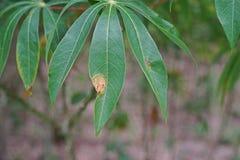Заболевание трущоб лист кассавы от бактерий стоковое фото