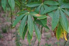 Заболевание трущоб лист кассавы от бактерий стоковая фотография