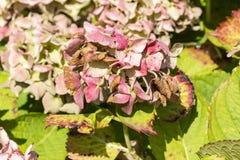 Заболевание hortensia гортензии цветка должного к недостатку поднимающего вверх wtaer и загрязнения близкое стоковое фото