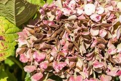 Заболевание hortensia гортензии цветка должного к недостатку поднимающего вверх wtaer и загрязнения близкое стоковая фотография