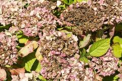 Заболевание hortensia гортензии цветка должного к недостатку поднимающего вверх wtaer и загрязнения близкое стоковое изображение rf