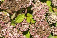 Заболевание hortensia гортензии цветка должного к недостатку поднимающего вверх wtaer и загрязнения близкое стоковые изображения