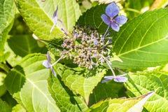 Заболевание hortensia гортензии цветка должного к недостатку поднимающего вверх wtaer и загрязнения близкое стоковое фото rf