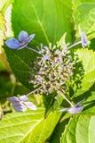 Заболевание hortensia гортензии цветка должного к недостатку поднимающего вверх wtaer и загрязнения близкое стоковые изображения rf