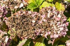 Заболевание hortensia гортензии цветка должного к недостатку поднимающего вверх wtaer и загрязнения близкое стоковые фото