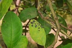Заболевание melanose цитруса на листьях стоковое изображение rf