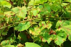 Заболевания виноградного вина Антракноз ampelina Elsinoà виноградин «грибковое заболевание которое влияет на листья виноградины стоковое фото