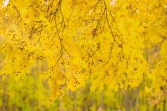 Заболевания лист дерева клена Acerinum Rhytisma Пятно смолки клена Слепые пятна на листьях дерева клена Сезоны, предпосылка Стоковые Фотографии RF
