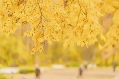 Заболевания лист дерева клена Acerinum Rhytisma Пятно смолки клена Слепые пятна на дереве клена выходят, парк города Стоковые Изображения RF