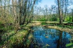 Заболотьте в лесе с отражением деревьев, болотом леса - мертвым местом стоковые фотографии rf