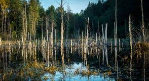 Заболотьте ландшафт, пни дерева и сухие деревья Стоковое Изображение