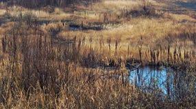Заболоченное место, болотистая зона с желтой и коричневой травой, тростниками, кустами Стоковые Изображения RF