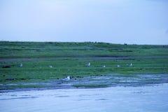Заболоченное место вдоль озера Цинхая с злаковиком стоковые фотографии rf