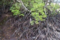 заболоченное место мангров Стоковые Фото