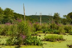 Заболоченные места разрушенные пурпурным вербейником и чрезмерным Duckweed стоковое фото rf