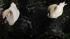 Забота лебедя Стоковые Фото