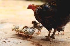 Заботя курица матери с ее цыпленоками стоковая фотография