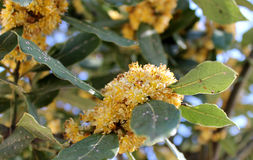 Заболевание на листьях лавра стоковое фото rf