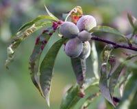 Заболевание скручиваемости лист персика стоковые фото