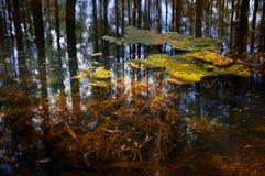 Заболоченные места леса Стоковое фото RF