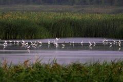 Заболоченные места и стада Egrets Snowy Стоковые Изображения