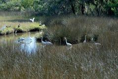 Заболоченные места Флориды Стоковое Изображение RF