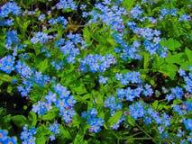 Забудьте меня голубые цветки стоковые фотографии rf