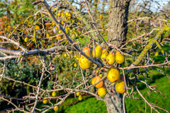 Забытые груши на старом грушевом дерев дереве Стоковое Фото