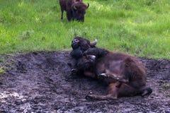Завальцовка бизона в грязи стоковые изображения