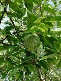 Заварной крем Яблоко стоковые фото