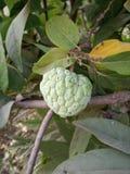 Заварной крем Яблоко стоковое изображение