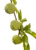 Заварной крем Яблоко растя на дереве стоковое изображение rf