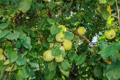 Завалка разнообразий Яблока белая Стоковое Изображение
