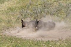 Завальцовка бизона в пыли стоковое фото
