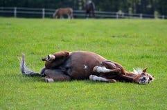 Завальцовка пони в его поле Стоковое Изображение