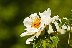 Завеса lactiflora Paeonia Стоковые Изображения
