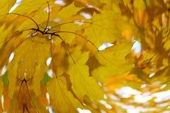 Завихрянные кленовые листы yelow оранжевые в осени стоковая фотография