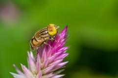 Завишите муха & x28; Вид Syrphidae & x29 Eristalinus; стоковые изображения