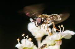 Завишите муха в полете Стоковое Фото